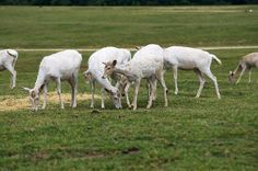 White Fallow Deer Fawn Group