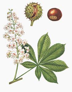 Aesculus hippocastanum Sapindaceae - HORSE CHESNUT
