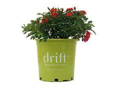 The Red Drift® Rose | Star Roses & Plants