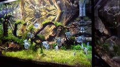 Aquarium Setup, Nature Aquarium, Planted Aquarium, Cichlid Aquarium, Aquarium Fish, Angel Fish Tank, Aquarium Architecture, Bird Fountain, Amazing Aquariums