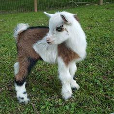 Love goats!