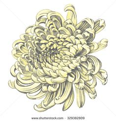 Find Chrysanthemum Pencil Drawing stock images in HD and millions of other royalty-free stock photos, illustrations and vectors in the Shutterstock collection. Crisantemo Tattoo, Chrysanthemum Drawing, Bum Tattoo, Tattoo Shop, Chrysanthemum Morifolium, Rite De Passage, Crysanthemum, Spider Mums, Big Flowers