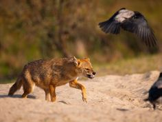 A jackal attacks hooded crows at Danube Delta Biosphere Reserve, Romania in September 2019 Fox Species, Danube Delta, Places Of Interest, Crows, Photo Contest, Natural World, Foxes, Romania, Panther