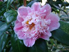 Richard Nixon (Camellia Japonica)