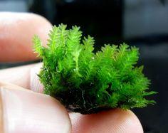 Heteroscyphus zollingeri - Blepharostoma Trichophyllum