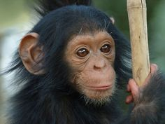 A gentle peaceful bonobo, a smart and inventive orangutan or a strong and determined gorilla. Orangutan Monkey, Baby Chimpanzee, List Of Animals, Animals And Pets, Wild Animals, Cute Baby Animals, Funny Animals, Types Of Monkeys, Primates