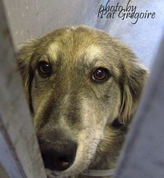 A4799464 I am a very sweet 1 yr old female black/brown Shepherd/Golden Retriever mix. I came to the shelter as a stray on Feb 10. available 2/14/15. 39 lbs  Baldwin Park shelter Open for Adoptions 7 days a Week 4275 Elton Street, Baldwin Park, California 91706 Phone 626 430 2378 https://www.facebook.com/photo.php?fbid=923655564312948&set=a.705235432821630&type=3&theater