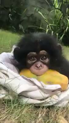 click visit to watch more Adorable baby monkey eating papaya 😍 Cute Creatures, Beautiful Creatures, Animals Beautiful, Beautiful Eyes, Cute Puppies, Cute Dogs, Cute Babies, Cute Funny Animals, Cute Baby Animals