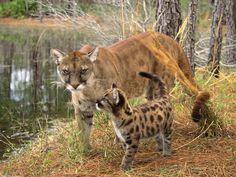 Florida panther and Cub