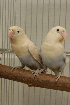 parrotfeather   peach faced lovebirds lovebirds