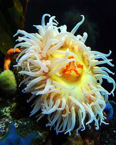 chrysanthymum anemone