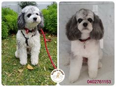 Adorable Cavoodle Winnie🤗 looks and feels great🌼 after his Full Groom this morning 😘 Thank you Annemaree and Winnie!🌳 See you next time at Ratty to Regal 👍 Ratty to Regal - Professional Dog Grooming Service in Bicton  with Lots of Love, Care, Patience and Treats:) Mob.: 04 02 761153 Ula Facebook: https://www.facebook.com/rattytoregal/  Website: https://rattytoregal.wixsite.com/rattytoregal #doggrooming #doggroomer #petstylist #rattytoregal #petgroomer #dogsalon #Bicton #Bictondoggroomer…