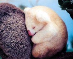 Albino koala baby