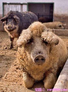 Mangalitsa pig (Austran Pig)