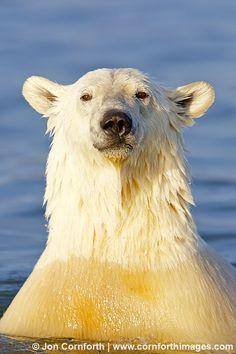 Barter Island Polar Bears