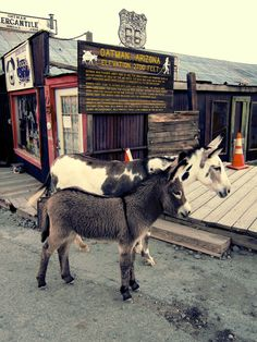 The donkeys in Oatman, Arizona walk along the street with all the people. You can even buy food for them and feed them.