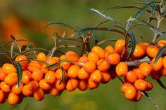 Pestujte rakytník: Plody nabité vitamínmi