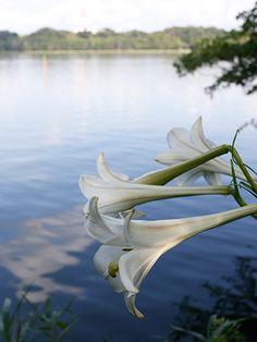 Lake Sanaru, Hamamatsu-city, Japan. 佐鳴湖 そよ風に揺れるユリと Heart swaying in the breeze