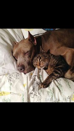 Reminds me of my old pit, Taylor, & my cat♥