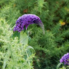 Get Buddleia in Flower photos and images from Picfair. Find high-quality stock photos that you won't find anywhere else. Flora Flowers, Colorful Flowers, Wild Flowers, Purple Shrubs, Buddleja Davidii, Butterfly Bush, Nature Plants, Print Advertising, Us Images