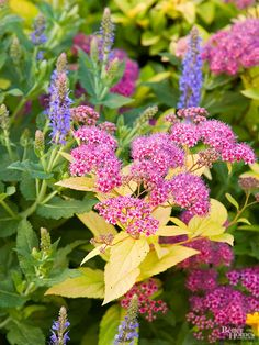 Spirea bumalda 'Goldflame' with the blue flower spikes of 'May Night' perennial salvia.