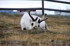 have some cute pics of svalbard reindeer Fancy Robes, Polyamorous Relationship, Doreen Virtue, Flora And Fauna, Tarot Decks, Deck Of Cards, Popular Culture, Arctic