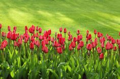 18 Early Spring Flowers: A Comprehensive Guide – DIY Home & Garden Tulips embody romance and elegance Clusia, Red Tulips, Tulips Flowers, Flowers Garden, Garden Plants, Early Spring Flowers, Bloom Blossom, Organic Gardening Tips, Bulb Flowers