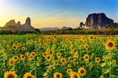 Lop Buri Sunflower Blooming Festival January Festivals in Thailand Lop Buri Sunflower Blooming Festival 2015When: 1 November 2016 - 31 January 2017 Where: Lopburi The festival kicks off around November until late January every year as this is when the sunflowers are in full bloom. The festival highlights include photography, scenic, train, bicycle, tractor and elephant tours around the ocean of sunflowers.