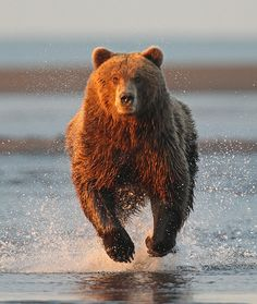 Canadian Geographic Photo Club - Grizzly Charge!