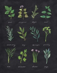 "rachaelhorner: "" Painting and cutting out various herbs for this illustration was very fun. I have to say though, the dill was a bit fiddly with scissors. Botanical Drawings, Botanical Prints, Herb Tattoo, Herbs Illustration, Herb Art, Ivy Plants, Witch Aesthetic, Motif Floral, Chalkboard Art"