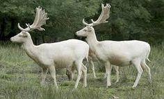 animais albinos - Pesquisa Google
