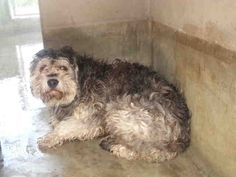 ((URGENT)) ID#A1471654  Hi, I'm a neutered male, gray Schnauzer mix. They haven't given me a name. I'm so sad & scared in this place. I just want a warm bed & someone to love & take care of me. I have lots of love & fun to give! PLS HURRY & SHARE/ SAVE/ RESCUE/ FOSTER/ ADOPT THIS PRECIOUS LITTLE PUFF BALL!!! Hurry...S. Los Angeles Animal Care & Control  http://www.petharbor.com/pet.asp?uaid=LACT3.A1471654
