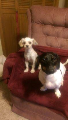 Maltipoo and piebald dachshund