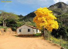 Lá na Roça > Ipê-amarelo ao lado de habitação rural > Extraído dia 15/11/2015 - 11:46hs