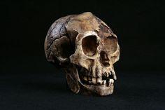 La recente scoperta di reperti archeologici su Flores sembra indicare che gli antenati dell'Hobbit siano arrivati sull'isola indonesiana molto prima di quanto finora creduto. Questo confermerebbe che abbiamo a che fare con una specie distinta da H. sapiens