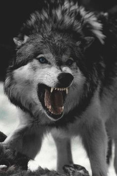 🐺If you Love Wolves, You Must Check The Link In Our Bio 🔥 Exclusive Wolf Related Products on Sale for a Limited Time Only! Tag a Wolf Lover! 📷: Please DM . No copyright infringement intended. All credit to the creators. Wolf Photos, Wolf Pictures, Animal Pictures, Nature Pictures, Nature Animals, Animals And Pets, Cute Animals, Wild Animals, Baby Animals