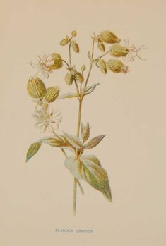 Antique botanical print titled Bladder Campion by F E Hulme. The print was published circa 1895, this set of prints are referenced as being produced between 1885 and 1895. How To Age Paper, Vintage Botanical Prints, See Picture, Prints For Sale, Wild Flowers, Vibrant Colors, Antiques, Gallery, Drawings