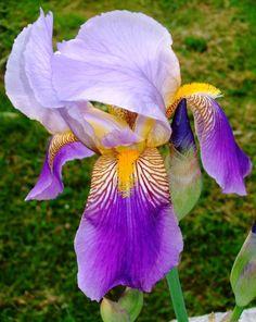 purple rain by Sugaree-33