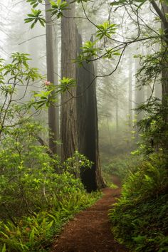 ~~In Wonderland | Redwoods and Rhododendron,  Redwood National State Park, Crescent City, California by Kristina Wilson~~