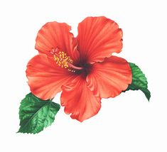Hibiscus72dpi.jpg