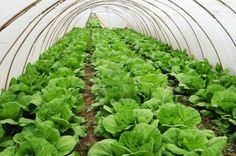 Organic farming, celery cabbage growing in greenhouse Stock Photo