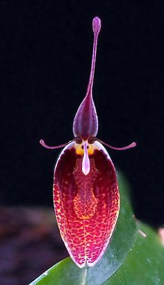 Restrepia metae - Flickr - Photo Sharing!