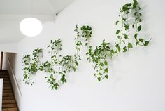 Mount 9 hidden-fixing floating shelves 23cm x 23cm in white. Each shelf has 1 square white pot with Pothos drapping between the pots.