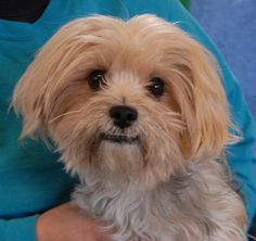 Dexter is happiest when he is cuddling up and sharing his love.  He is a charming, super cute Yorkshire Terrier, 2 years young, a neutered boy, debuting for adoption today at Nevada SPCA (www.nevadaspca.org).  Dexter enjoys dogs and older kids and he is reportedly housetrained.  He needed us due to his previous owner's financial hardship.  Please ask for Dexter by name when you visit.