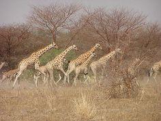 .giraffes.. #giraffes #giraffelovers