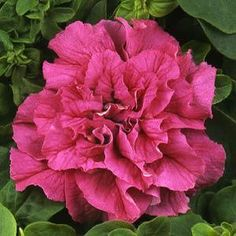 Double Cascade Pink trailing petunia
