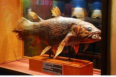 Coelacanth East London Museum