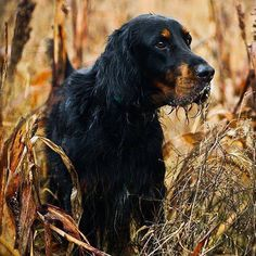 """Gordon Setter. Justice"""" on point on a quail covey by Maggie Fan"""