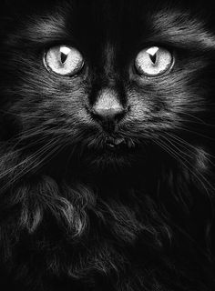 """previous pinner said: """"Black cat. I am promoting pure black cats. I want to try to change peoples mind that these cats are not evil. I do not mind some black and white cats and even tigers, but more pure black cats. Pretty Cats, Beautiful Cats, Animals Beautiful, Cute Animals, Pretty Kitty, Beautiful Soul, Wild Animals, Crazy Cat Lady, Crazy Cats"""
