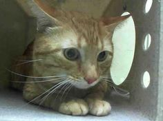 BOO - A1035955 - - Staten Island  **TO BE DESTROYED 05/17/15** Boo and Tazzy Are Matching Neutered Hug Machines Who Need You Tonight! These 4-year-old boys are both reported as being super nice cats, according to the owner surrender sheets, and both boys are feeling a little rattled by their scary new surroundings. Despite their fear, Boo and Tazzy have put their best feet forward and earned excellent EXPERIENCE ratings. Orange cats are loads of fun, and a matched set is th